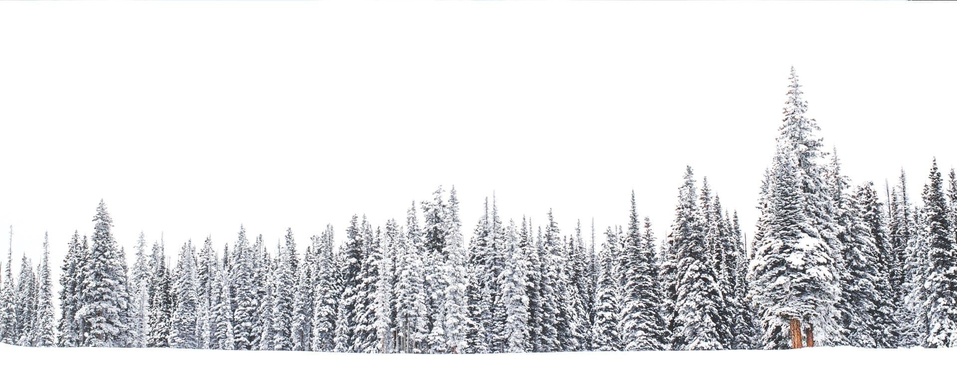 Snow-covered pine and larch trees